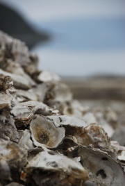 Oyster Shells // Louisa Butler // Flickr CC License