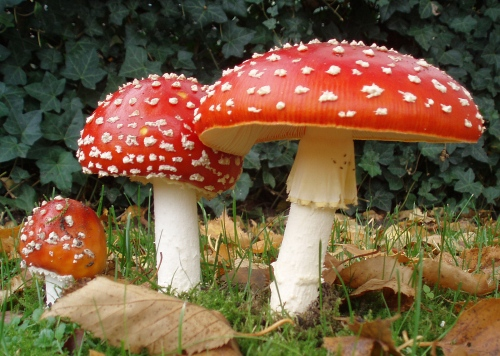 Amanita muscaria. Photo: Wikimedia Commons