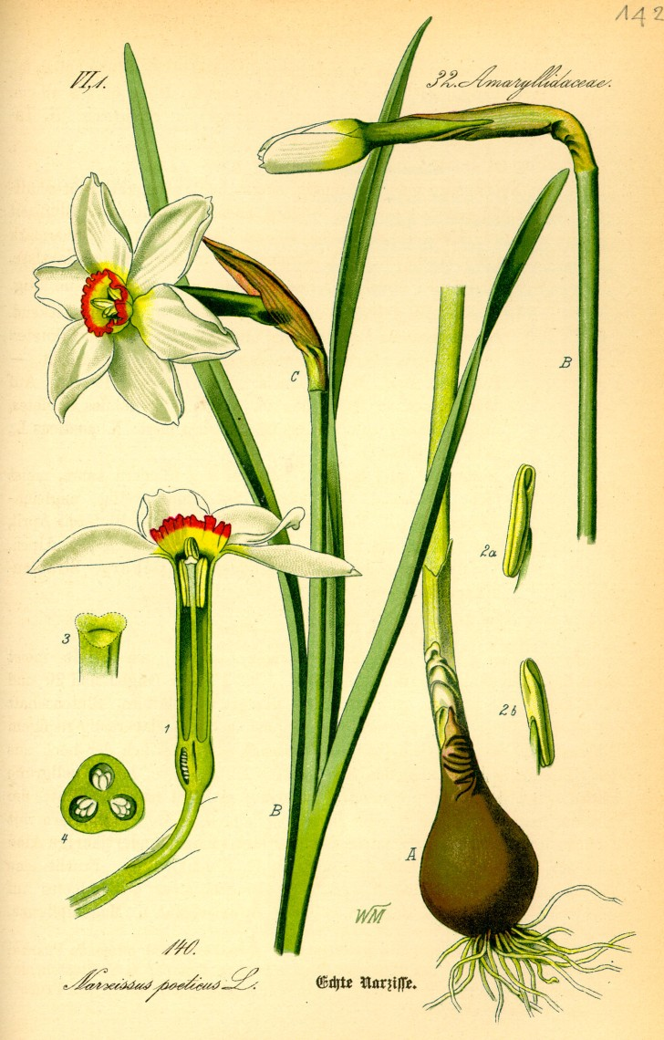Illustration_Narcissus_poeticus0