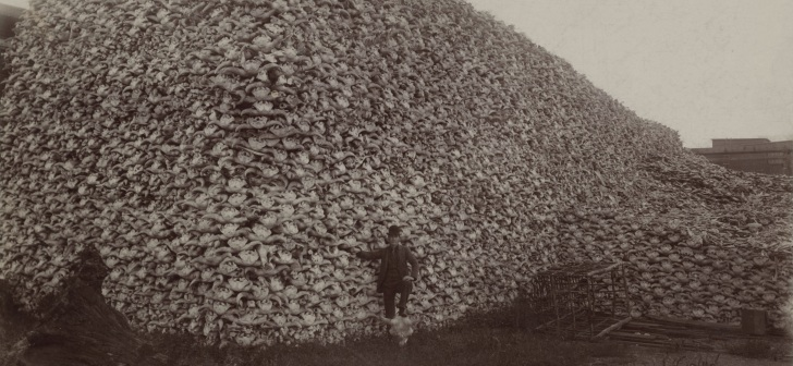 American bison skulls, mid-1870s. Via Wikimedia Commons.