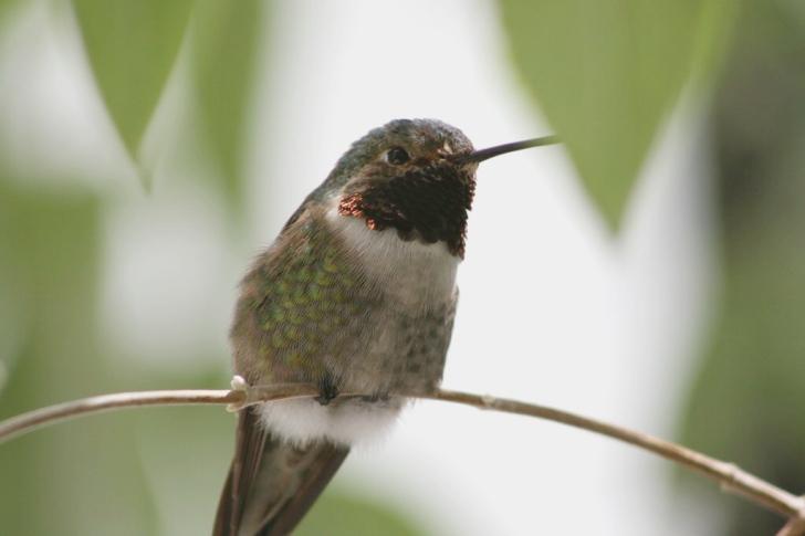 Broad-Tailed Hummingbird. Photo by Maureen Leong-Kee CC-BY SA 2.0