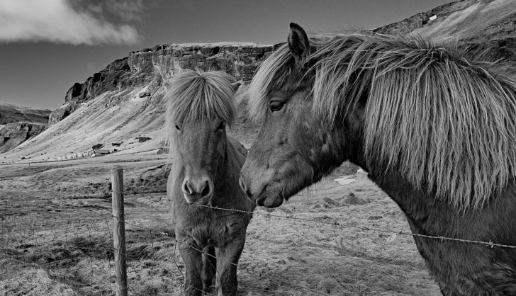 black and white photo of icelandic ponies