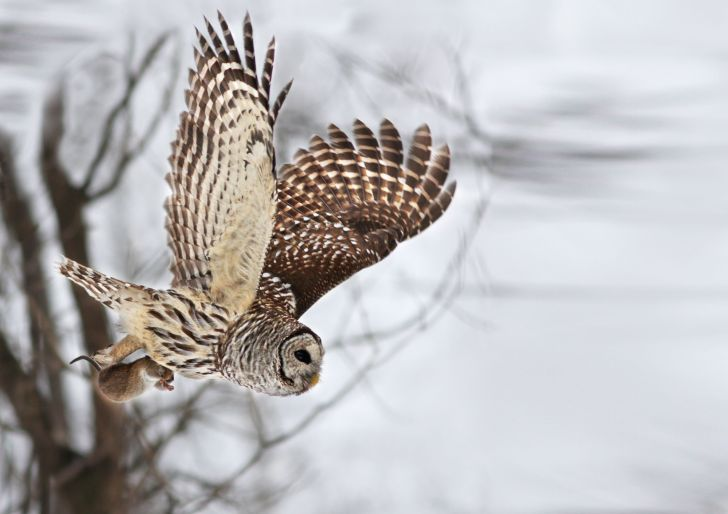 Barred Owl  -- Mircea Costina/Rex Features via AP Images