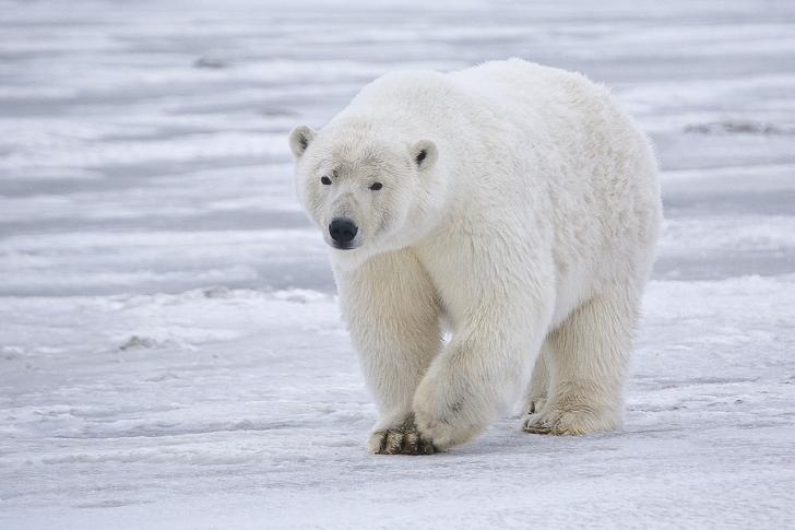 a polar bear walks on the ice