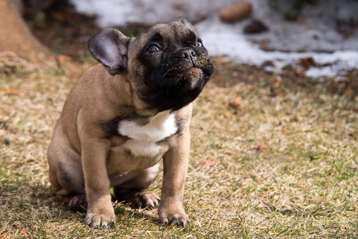 a disgruntled looking french bulldog