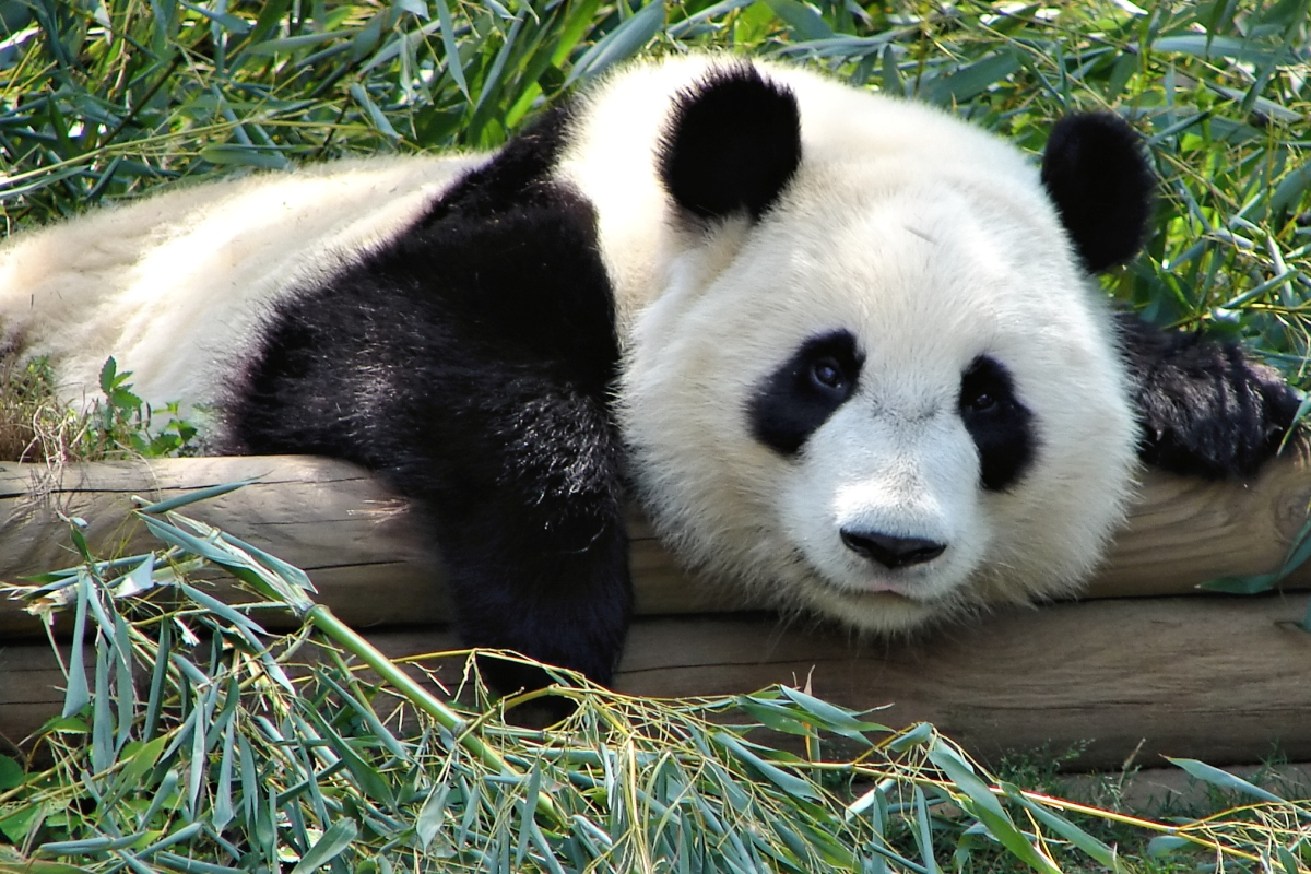 a sleepy panda bear that seems to be smiling
