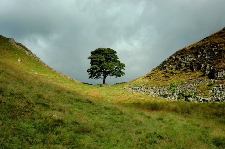 Sycamore_Gap,_The_Tree
