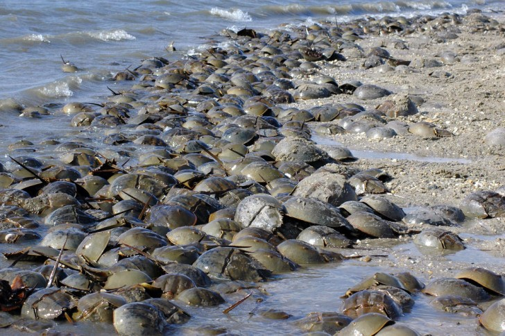 dozens of horseshoe crabs come ashore on a beach