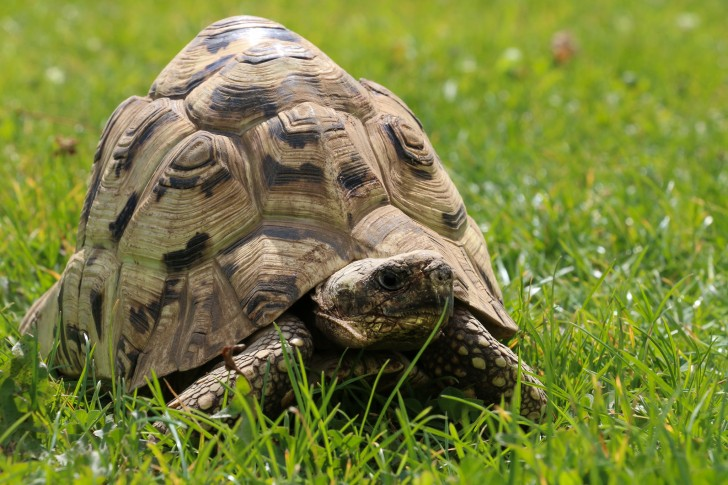 a tortoise walks through tall grass
