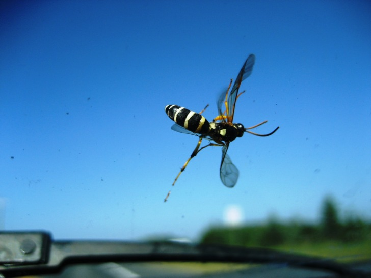 Wasp on a Windshield