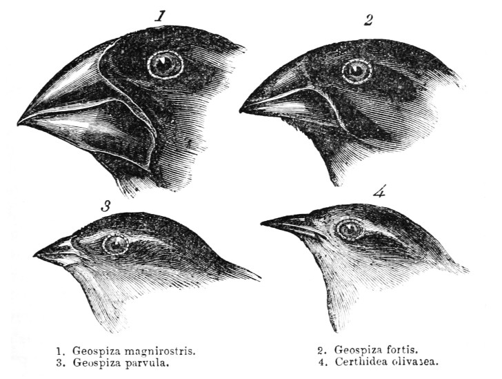 Darwin's_finches_by_Gould (1)