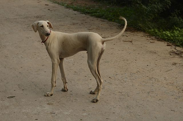 Chippiparai dog at the streets of Tirupudaimarudur