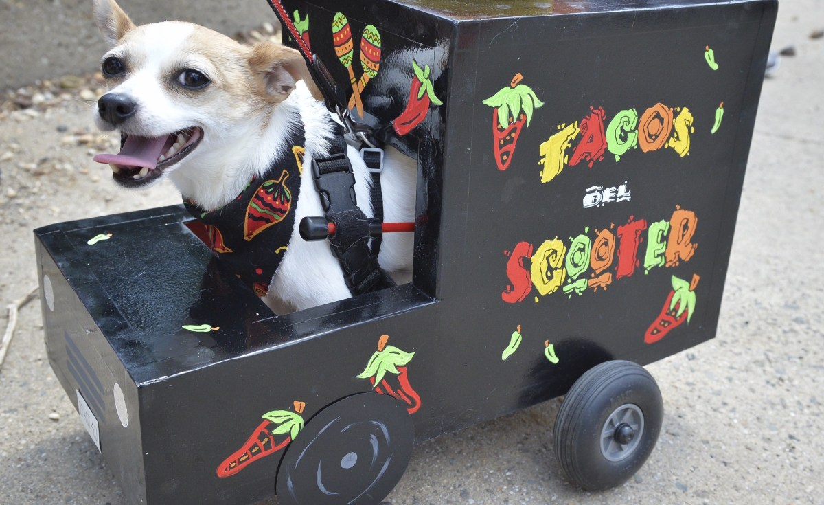 A handicapped Chihuahua dog is dressed up as a taco truck