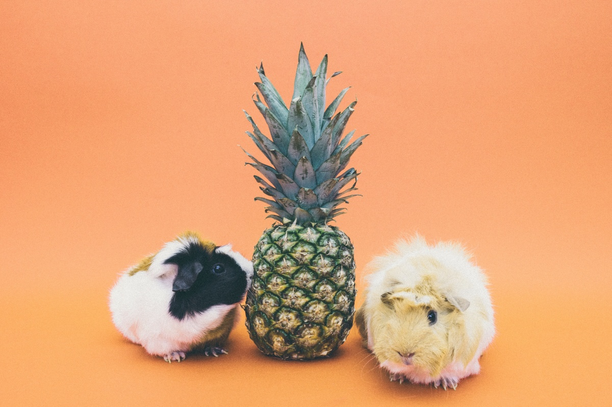 a pineapple between two hamsters, against an orange background
