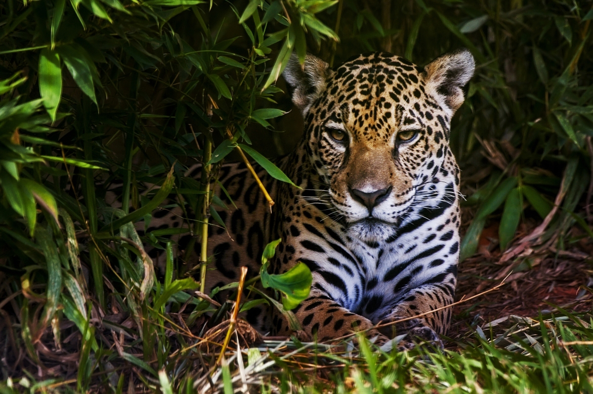 can the jaguars unique biology help it survive on our over