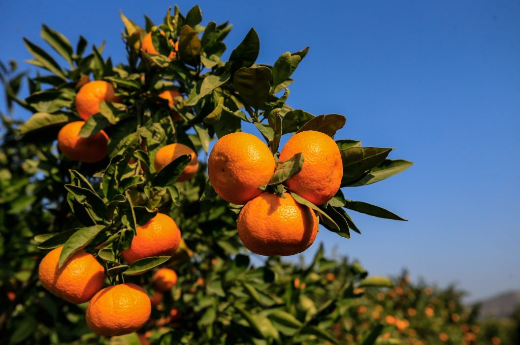In Georgia, Citrus is Just Peachy